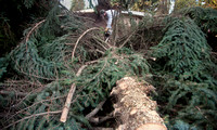 BRIAN LEE CUTS UP A SPRUCE TREE