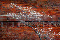 SPRING BLOSSOMS AGAINST OLD BRICK WALL
