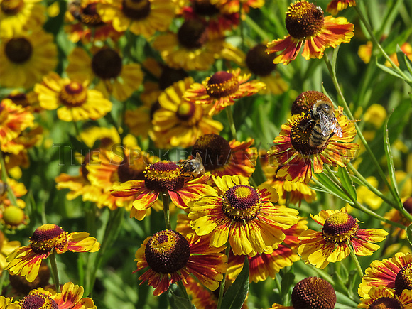HELENIUM PLANTS WITH BEES