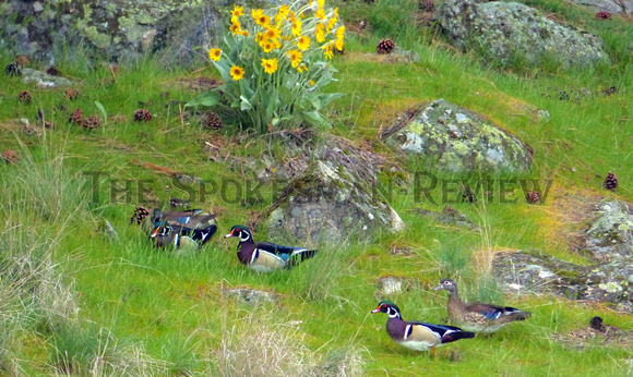WOOD DUCKS NEAR THE SPOKANE RIVER